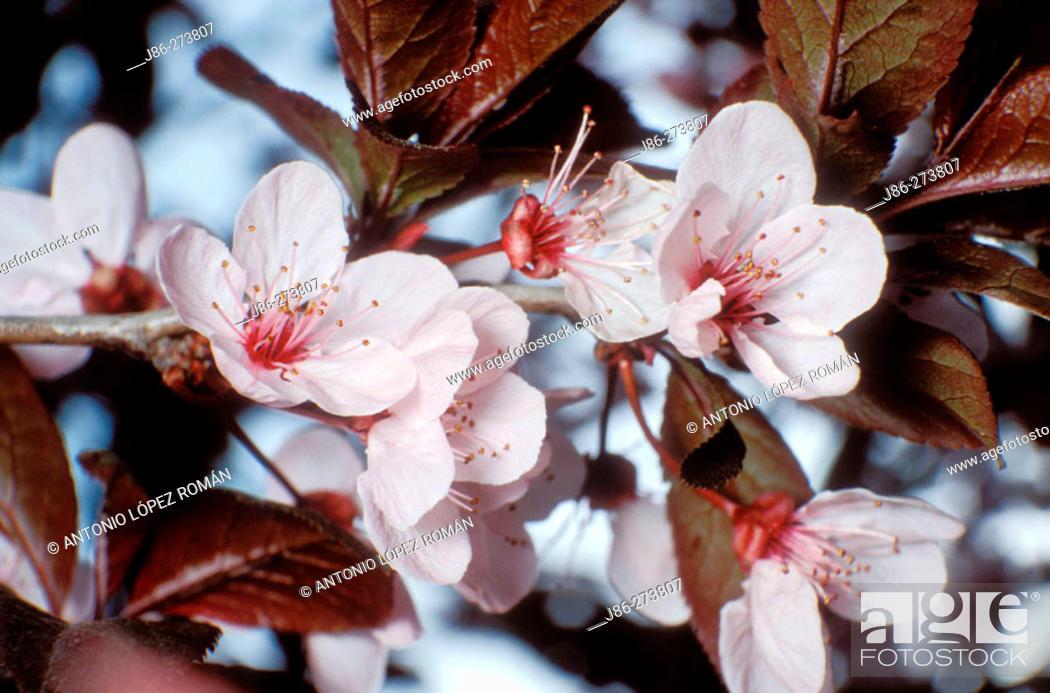 Stock Photo: Cherry Plum (Prunus cerasifera) flowers.