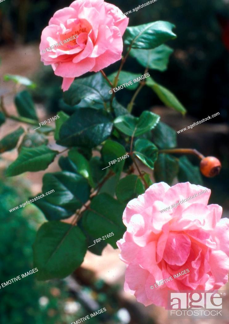 Stock Photo: Roses.