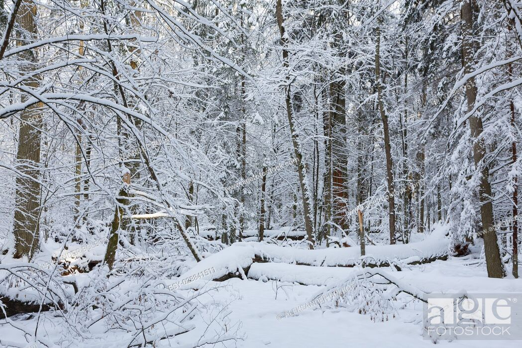 Stock Photo: Winter landscape of natural forest with dead oak tree trunk lying, Bialowieza Forest, Poland, Europe.