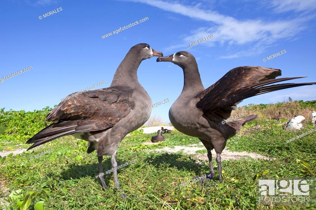 Stock Photo: Hawaï , Midway , Sand Island , Black-footed Albatross  Phoebastria nigripes.