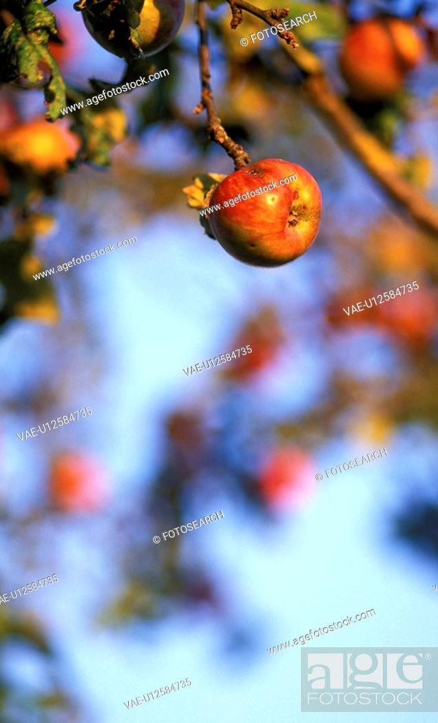 Stock Photo: calf, apple, blue, austria, apple tree, fruit, agriculture.