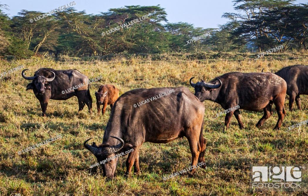 Stock Photo: African Buffalo, Syncerus caffer, Lake Nakuru National Park, Kenya.