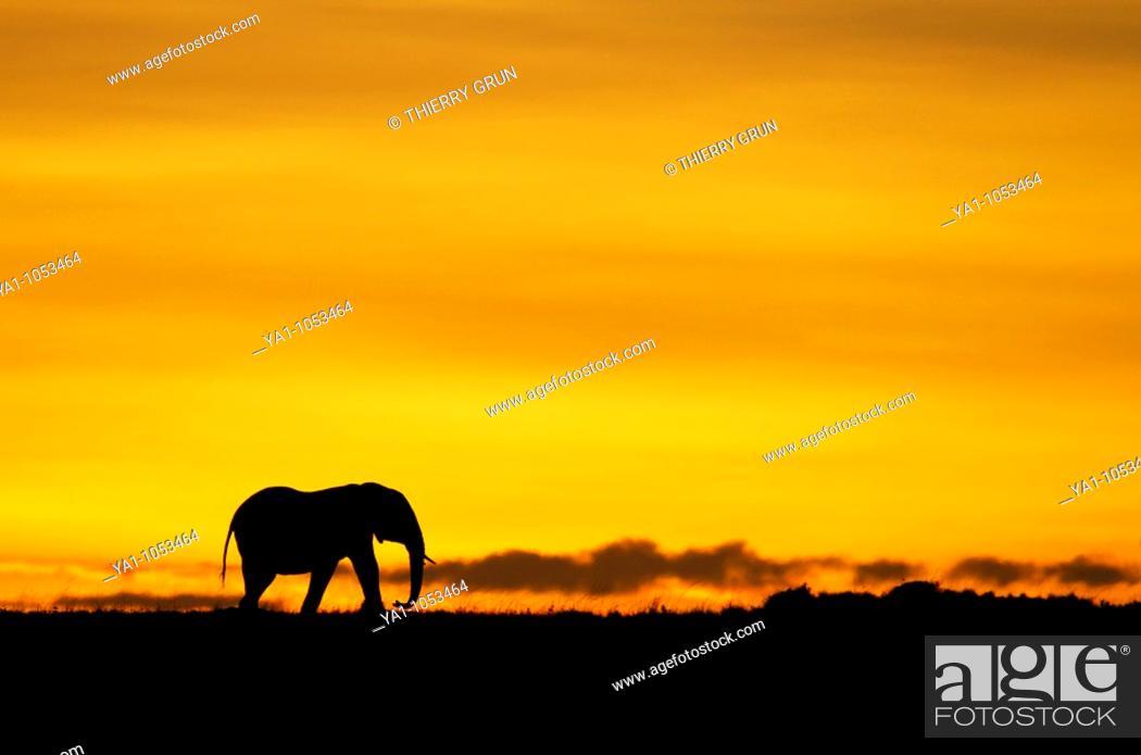 Stock Photo: Lonely male african elephant Loxodonta africana walking on sunrise horizon  Masai Mara national park, Kenya.