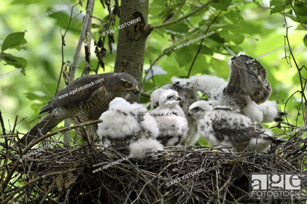 Stock Photo: Sparrowhawk ( Accipiter nisus ), adult female with five chicks nesting in a deciduous tree, feeding its offspring, wildlife, Europe.