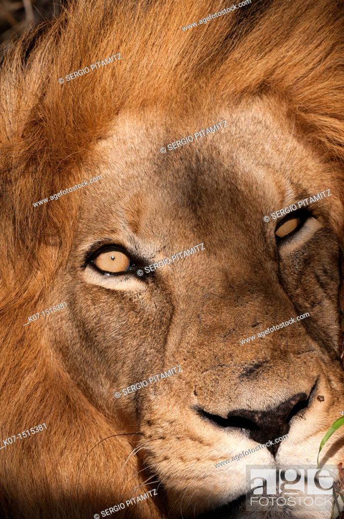 Stock Photo: Lion Panthera leo, Kapama Game Reserve, South Africa.