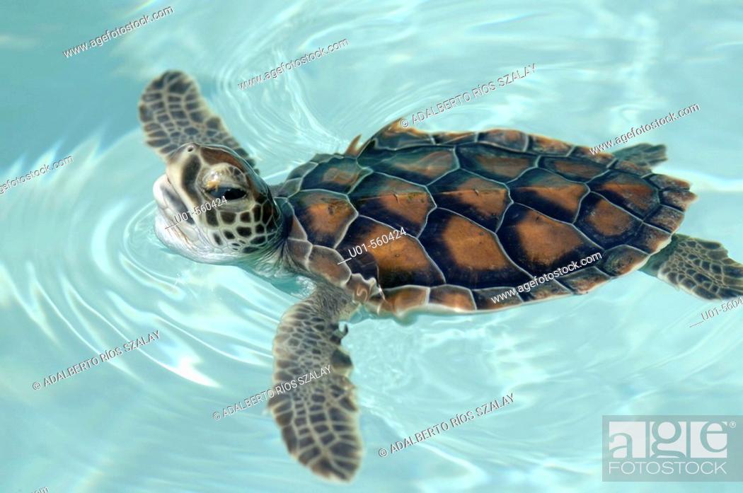 Stock Photo: Hawksbill Turtle (Eretmochelys imbricata).