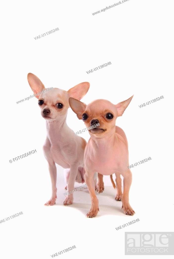 Stock Photo: canines, animal, domestic, chihuahua, dog, loving, pet.