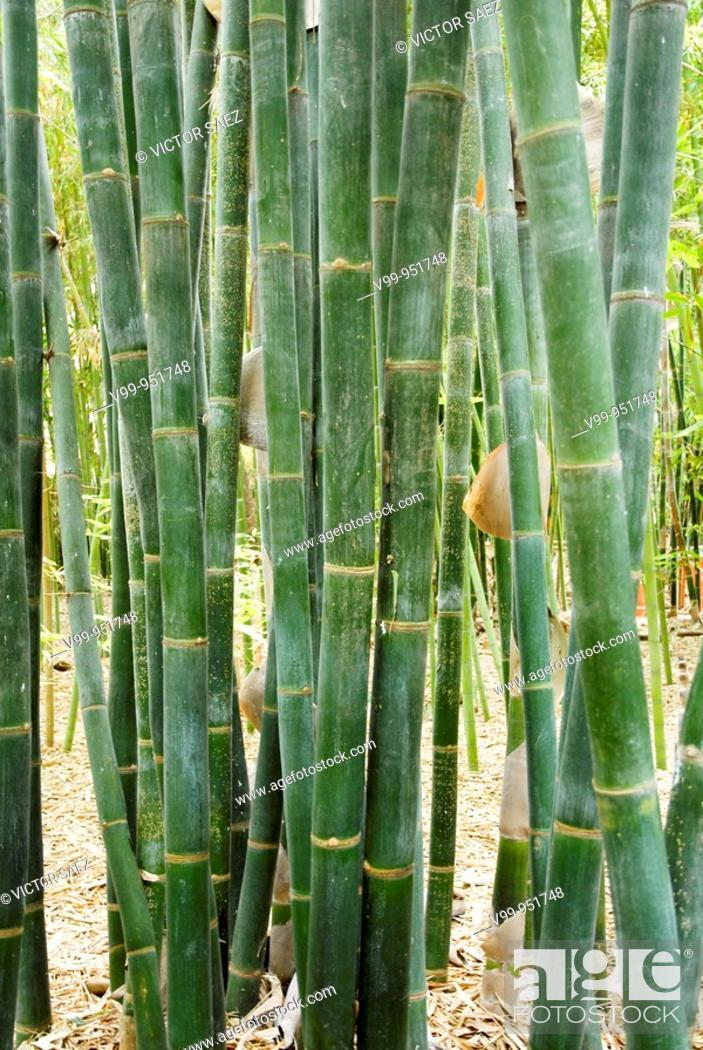 Stock Photo: bamboo, bamboo, bamboo.