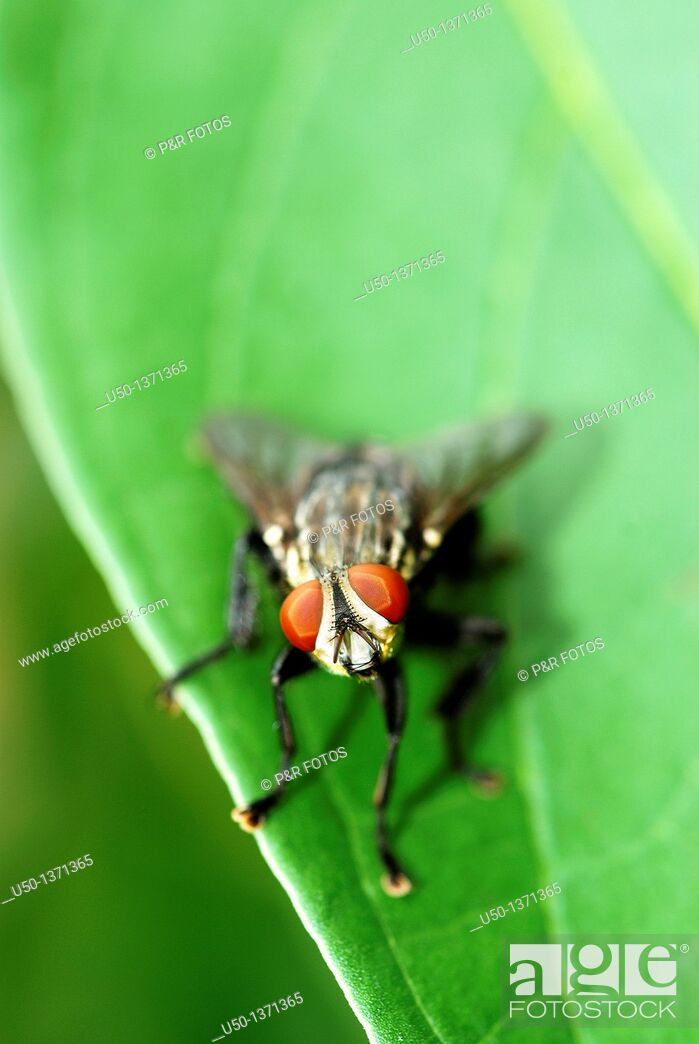 Stock Photo: Fly on leaf, Diptera, 2008.