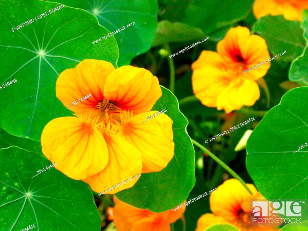 Stock Photo: Nasturtium (Tropaeolum majus).