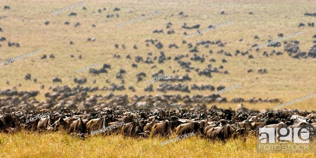Stock Photo: blue wildebeest, brindled gnu, white-bearded wildebeest Connochaetes taurinus, during the Great Migration through the savanna, Kenya, Masai Mara National Park.