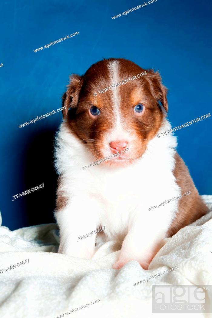 Stock Photo: young Australian Shepherd Puppy.