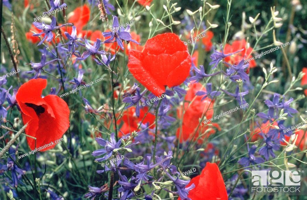 Stock Photo: Common Poppy + Forking Larkspur Papaver rhoeas u. Consolida regalis, Jun 87.