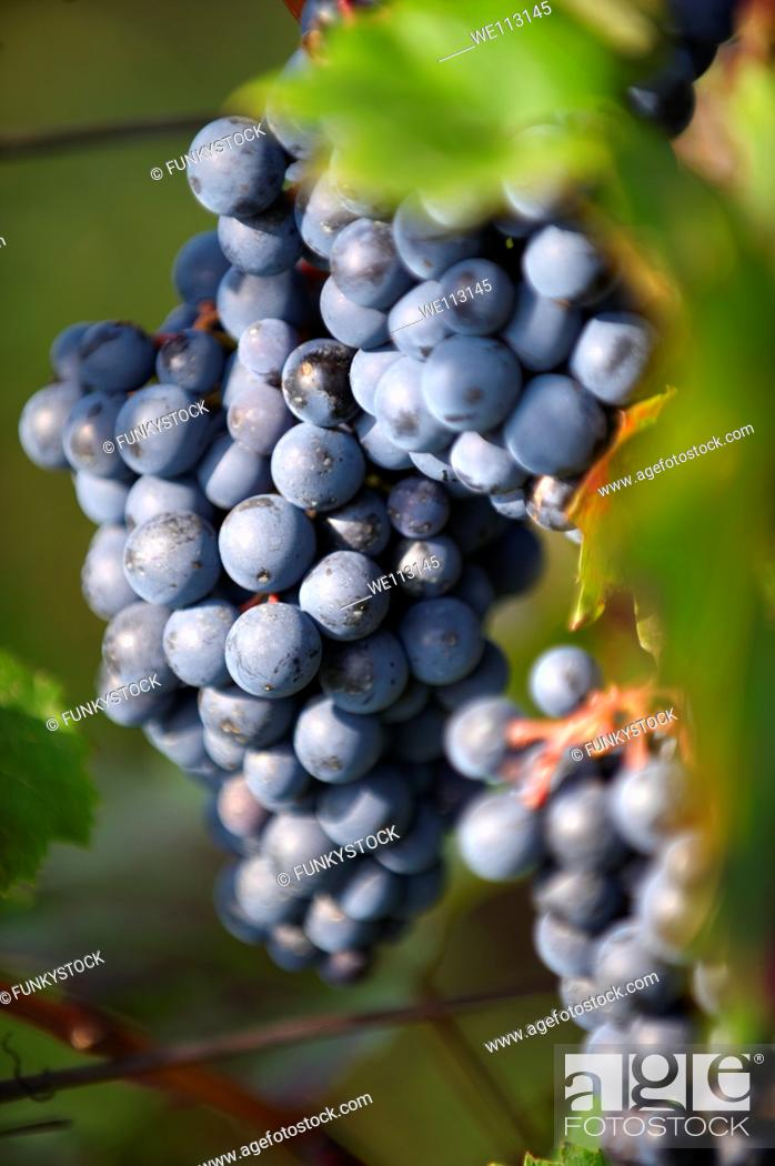 Stock Photo: Red grapes on the vines of Villany  Villany  vineyards, Hungary.