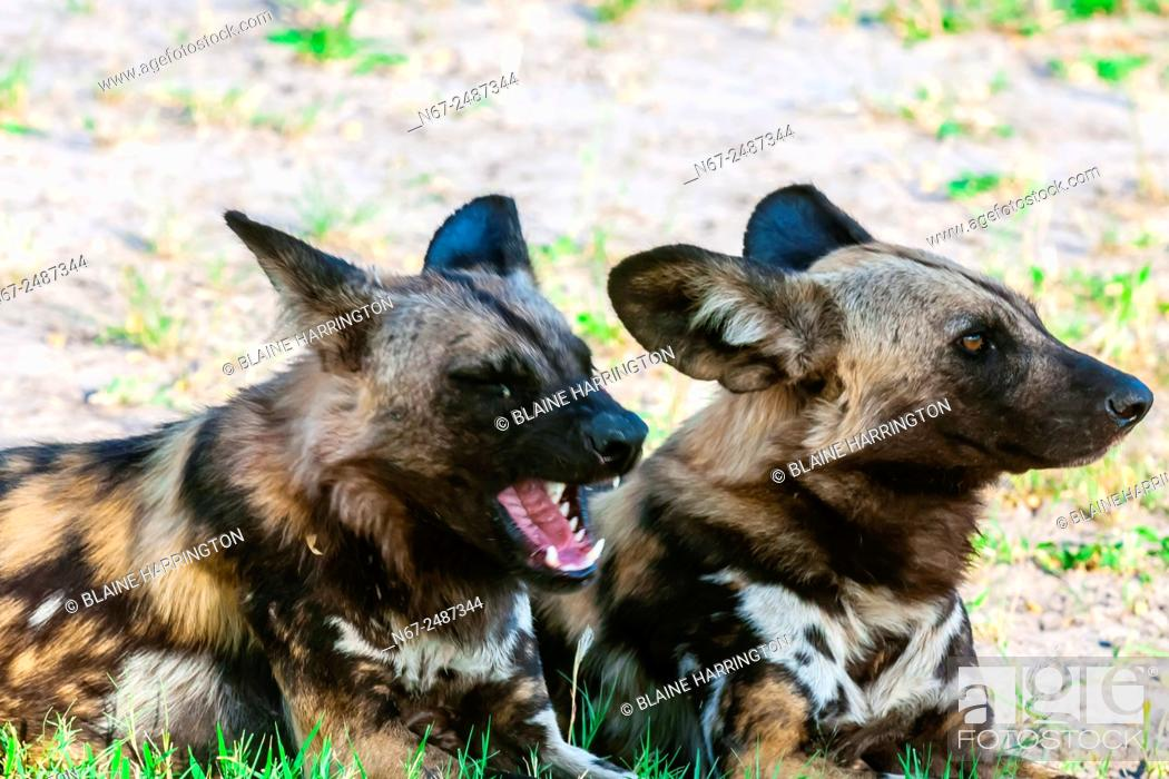 Stock Photo: African wild dogs, near Kwando Concession, Linyanti Marshes, Botswana. African wild dogs are extremely endangered. Only about 6, 000 are left.
