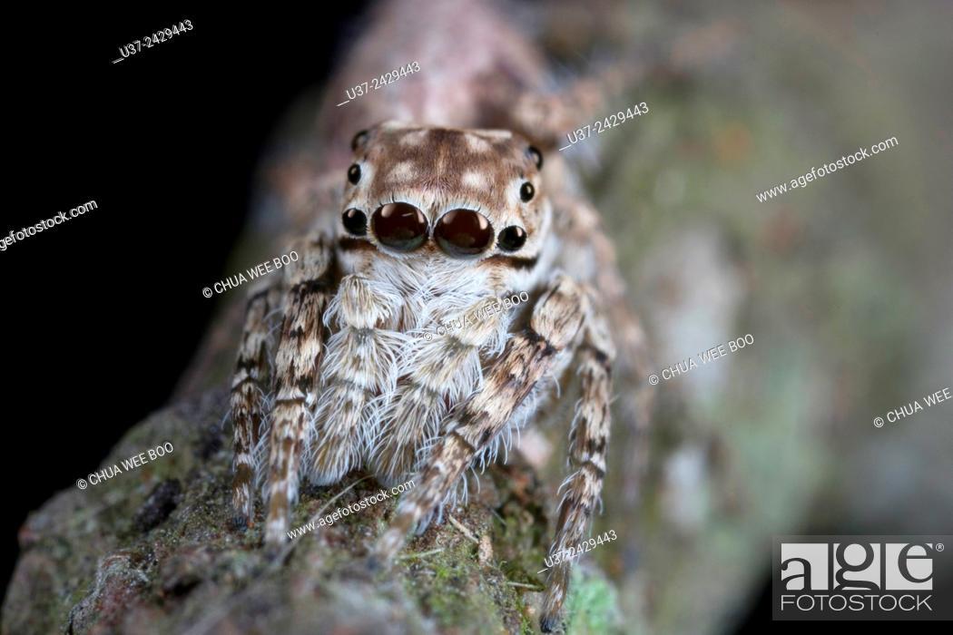 Stock Photo: Jumping spider. Image taken at Stutong Forest Reserve Park, Kuching, Sarawak, Malaysia.