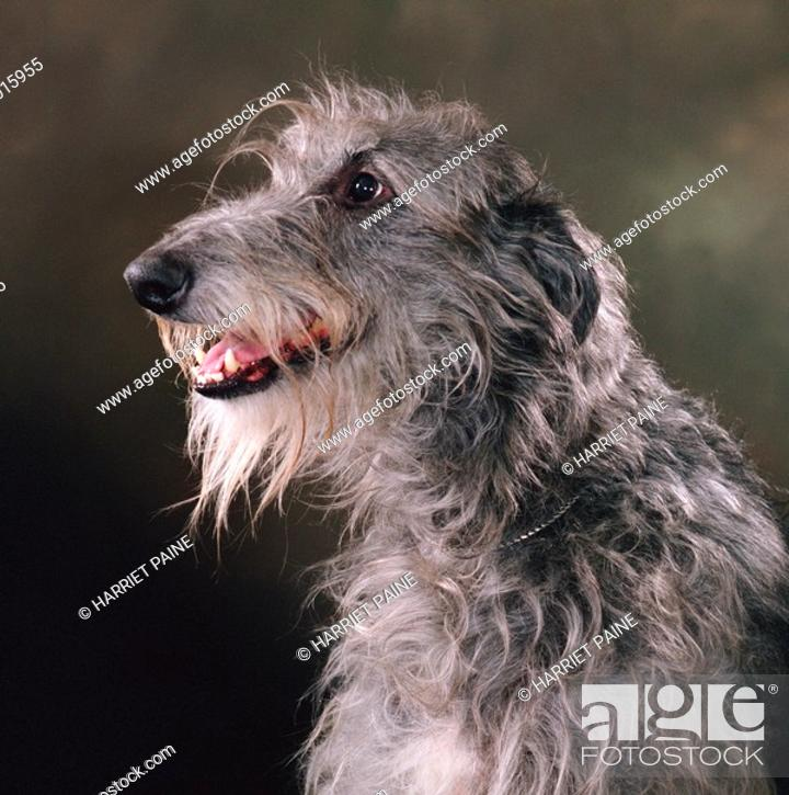 Stock Photo: Scottish Deerhound: type of breed.