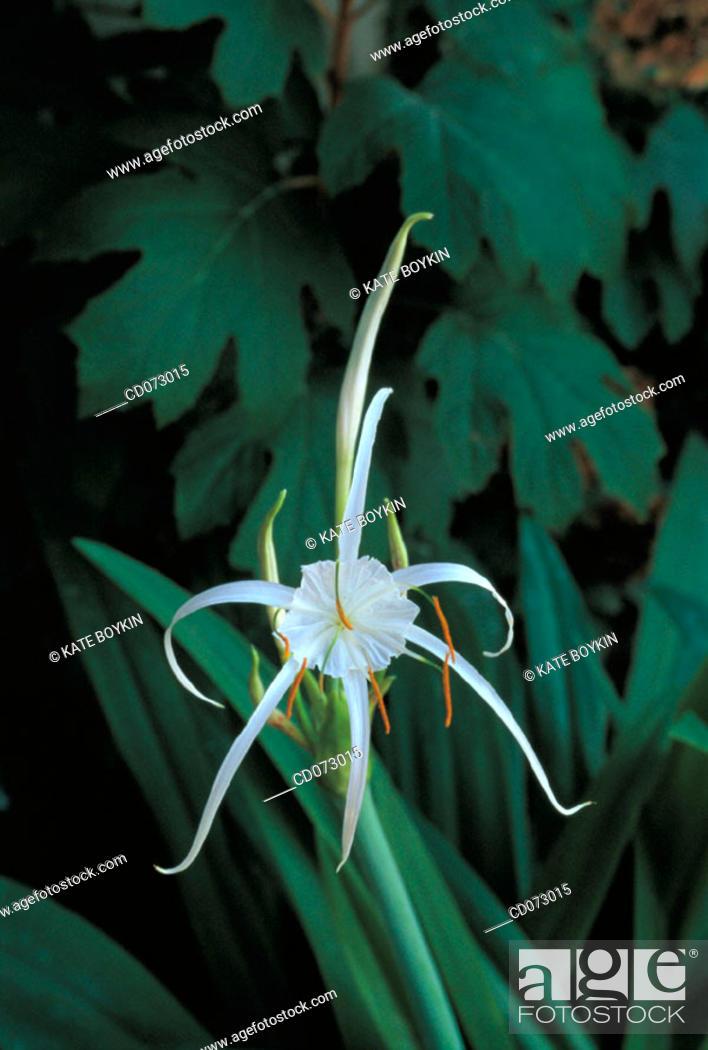 Stock Photo: Spider Lily (Hymenocallis imperialis).