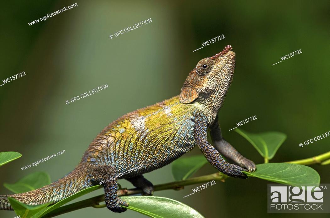 Stock Photo: Cryptic Chameleon (Calumma crypticus), (Chameleonidae), endemic to Madagascar, Anjozorobe Nationalpark, Madagascar.