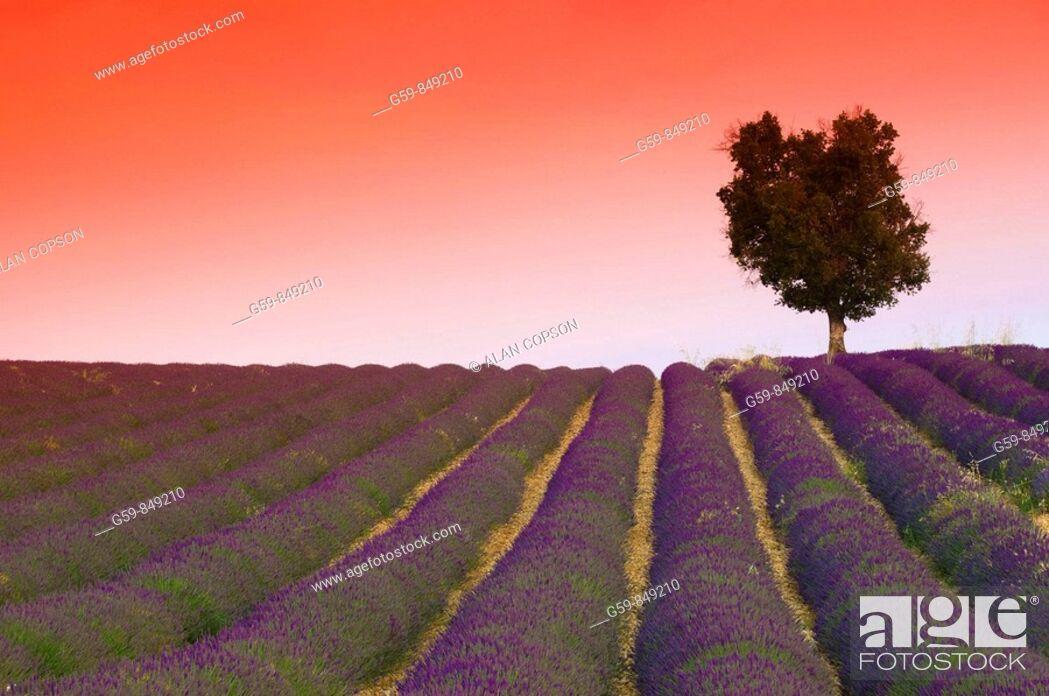 Stock Photo: France, Provence-Alpes-Côte d'Azur, Alpes-de-Haute-Provence, Valensole, Lavender Fields.