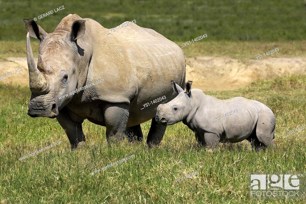 Stock Photo: White Rhinoceros, ceratotherium simum, Female with Calf, Nakuru Park in Kenya.