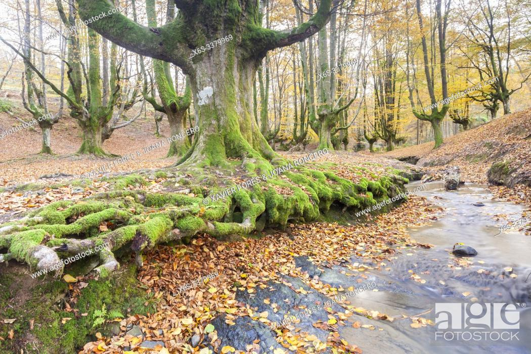 Stock Photo: Beech trees forest of Otzarreta, Natural Park of Gorbeia, Vizcaya, Spain.
