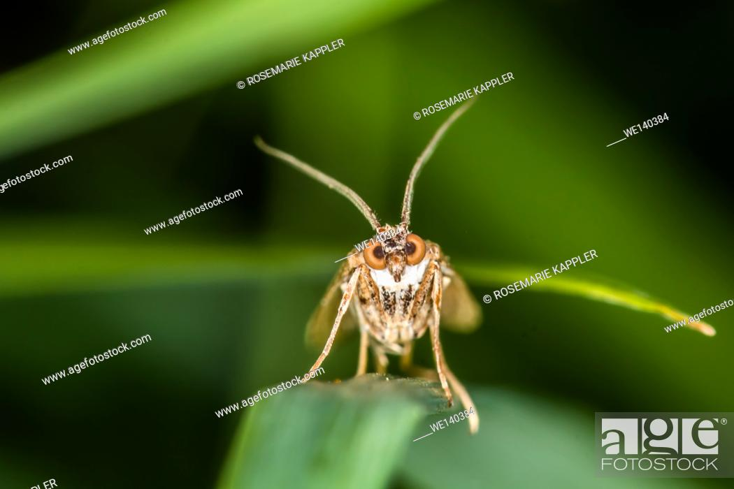 Stock Photo: Germany, Saarland, Niederbexbach, A rush veneer with great eyes is sitting on a grass-stock.