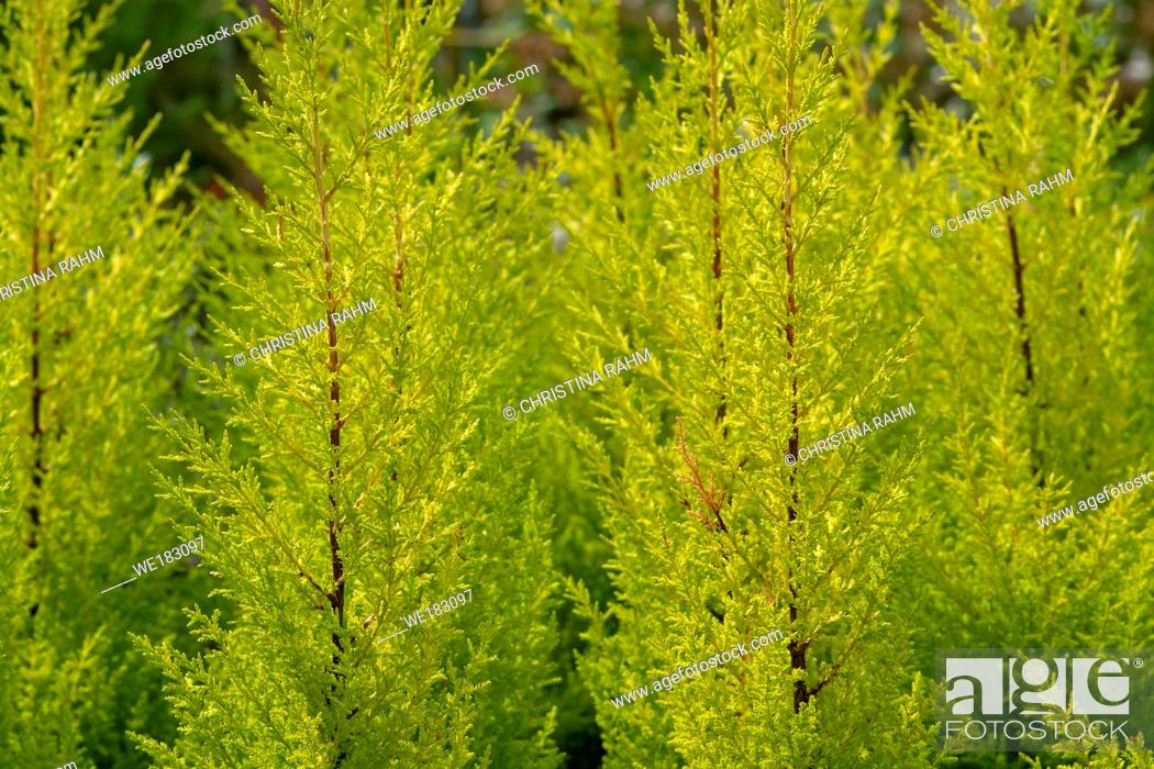 Stock Photo: Conifer citrus cypress plant in pots spring green colour.
