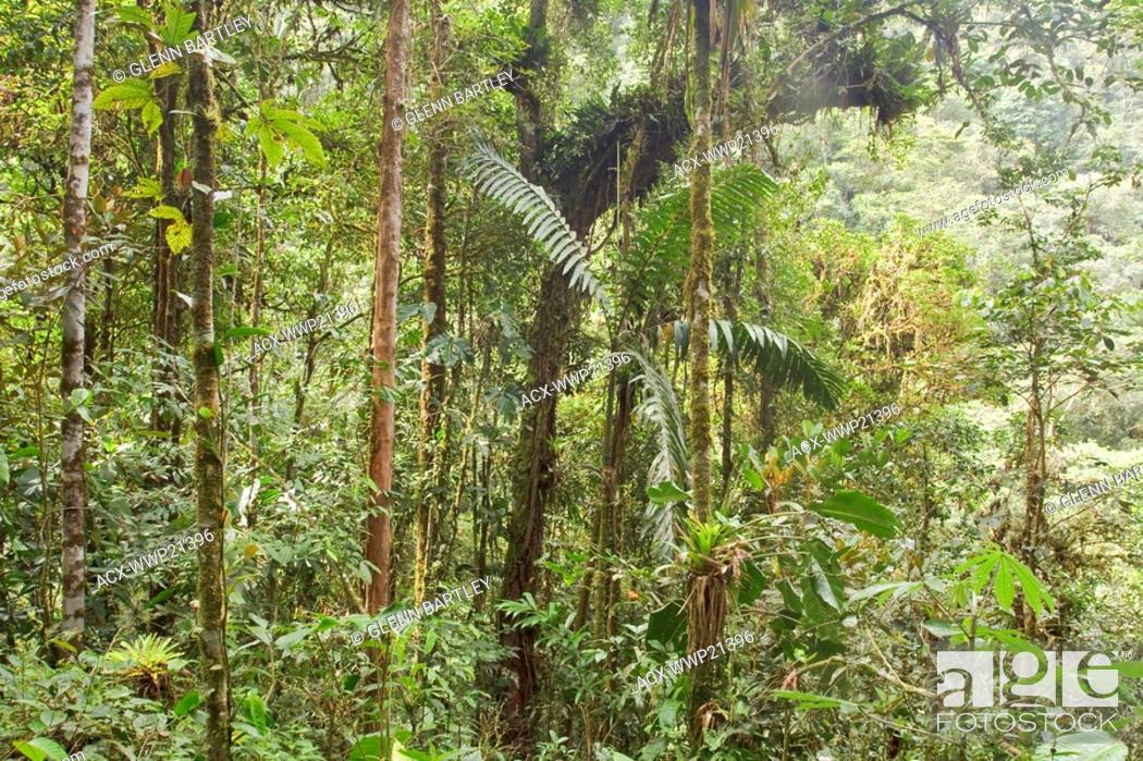 Stock Photo: A view of the rainforest in Podocarpus national Park in southeast Ecuador.