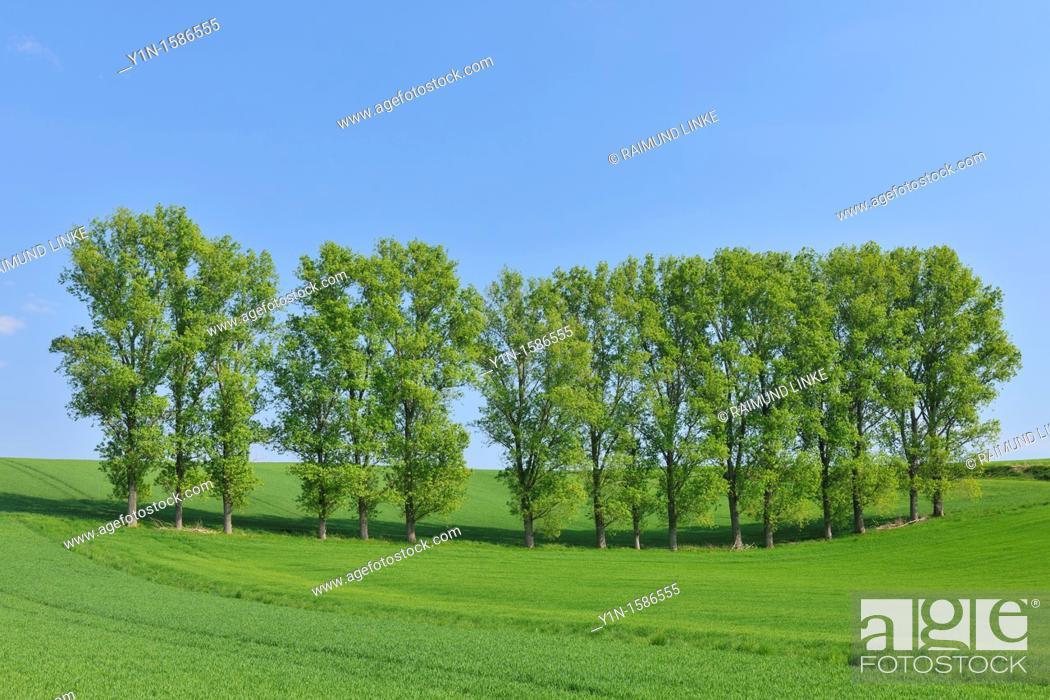 Photo de stock: Tree row in field, spring, Reinheim, Hesse, Germany.