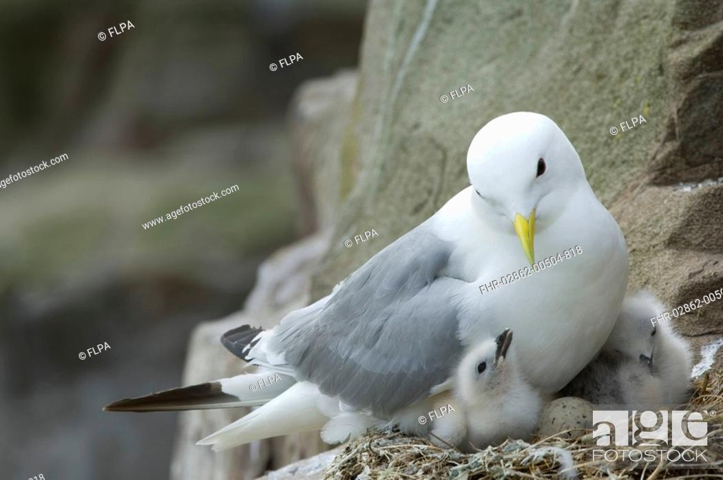 Stock Photo: Kittiwake Rissa tridactyla adult, at nest on cliff ledge, egg and chicks in nest, Farne Islands, Northumberland, England, june.