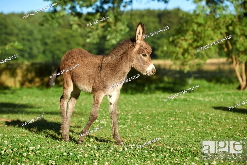 Stock Photo: standard donkey.