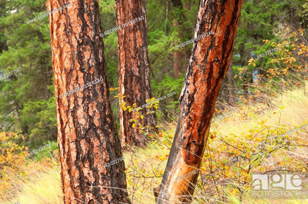 Ponderosa pine along Cascade Falls Trail (Iron Mountain Road