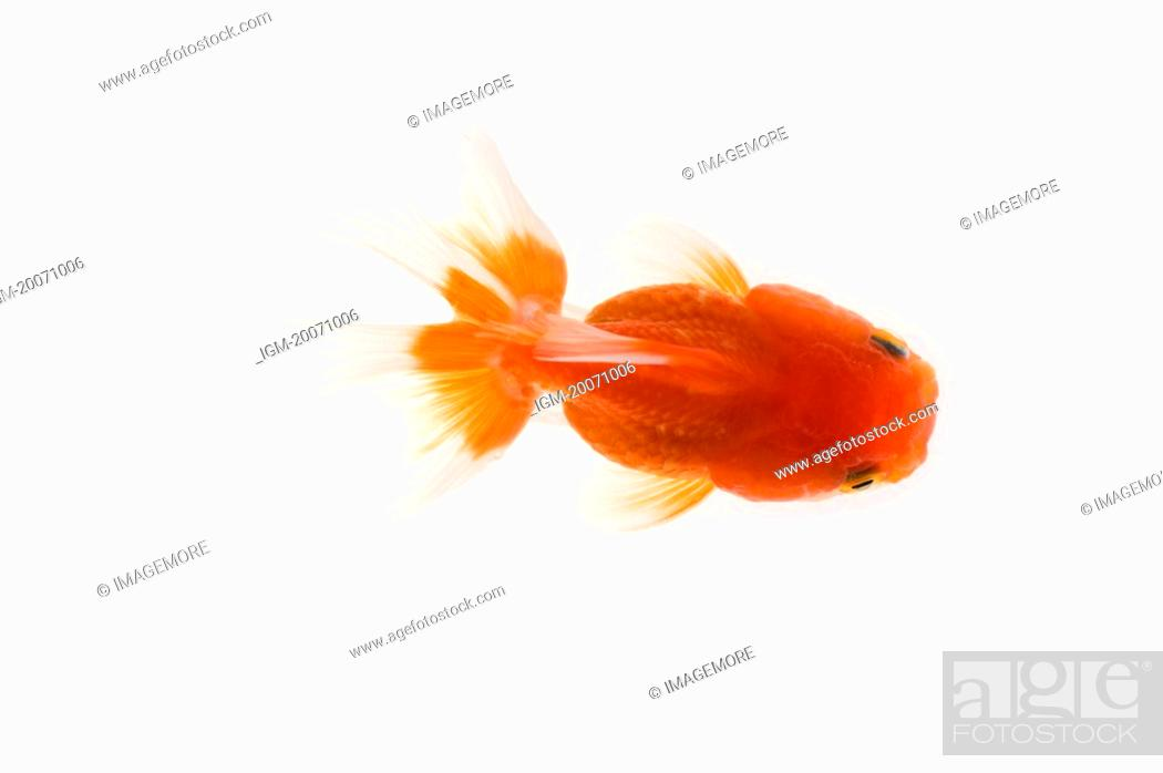 Stock Photo: Gold Fish.