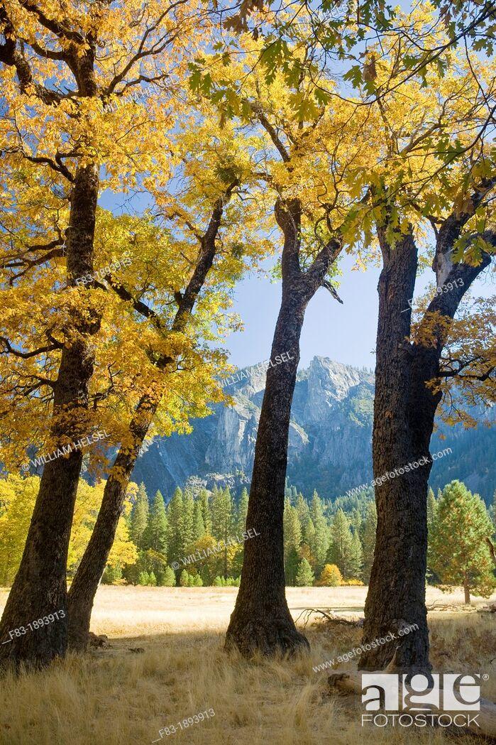 Stock Photo: Yosemite Valley, Yosemite National Park, California, USA, El Capitan Meadow, black oaks Quercus kelloggii, pines, granite cliffs and spires, November.