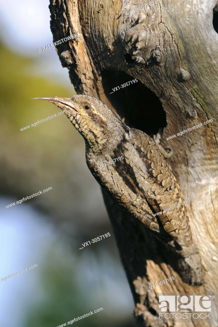 Imagen: Eurasian Wryneck ( Jynx torquilla ) perched in front of its nest hole, showing, cleaning, sticking out its long barbed sticky tongue, wildlife, Europe.