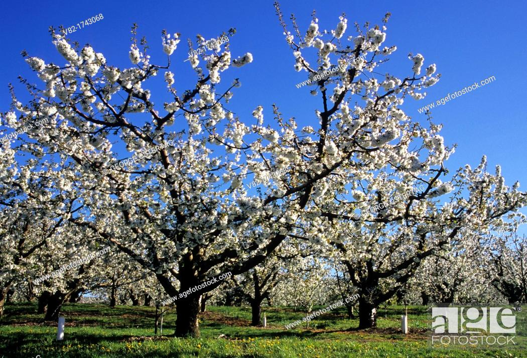 Stock Photo: Cherry orchard in bloom, Yakima County, Washington.