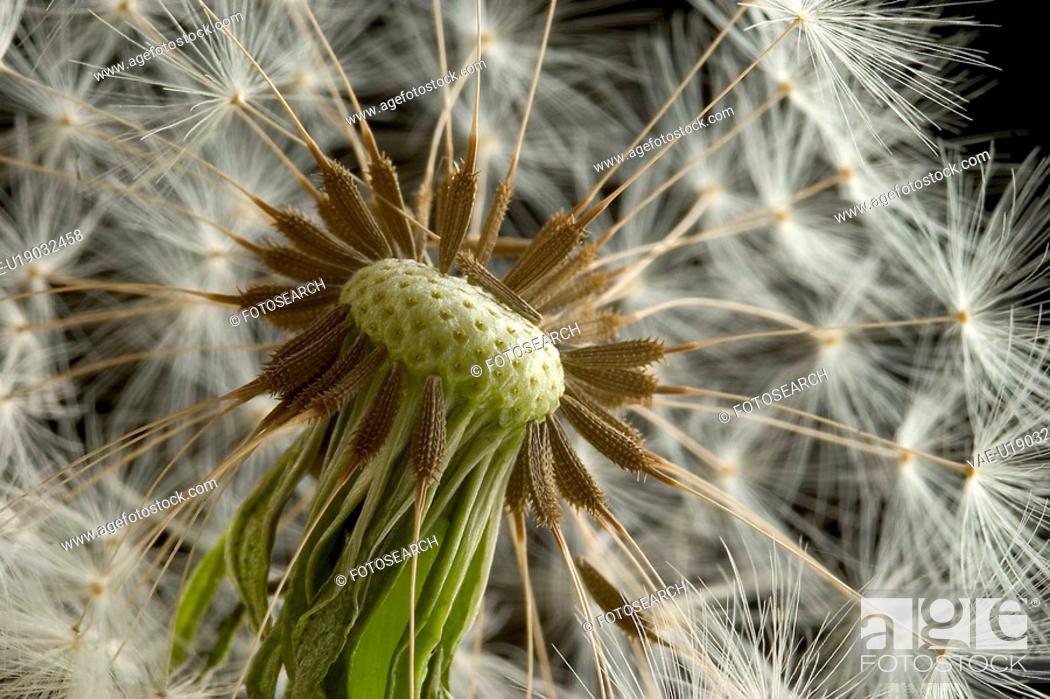 Stock Photo: dandelion, black, close-up, CLOSE, blowball, alfred.