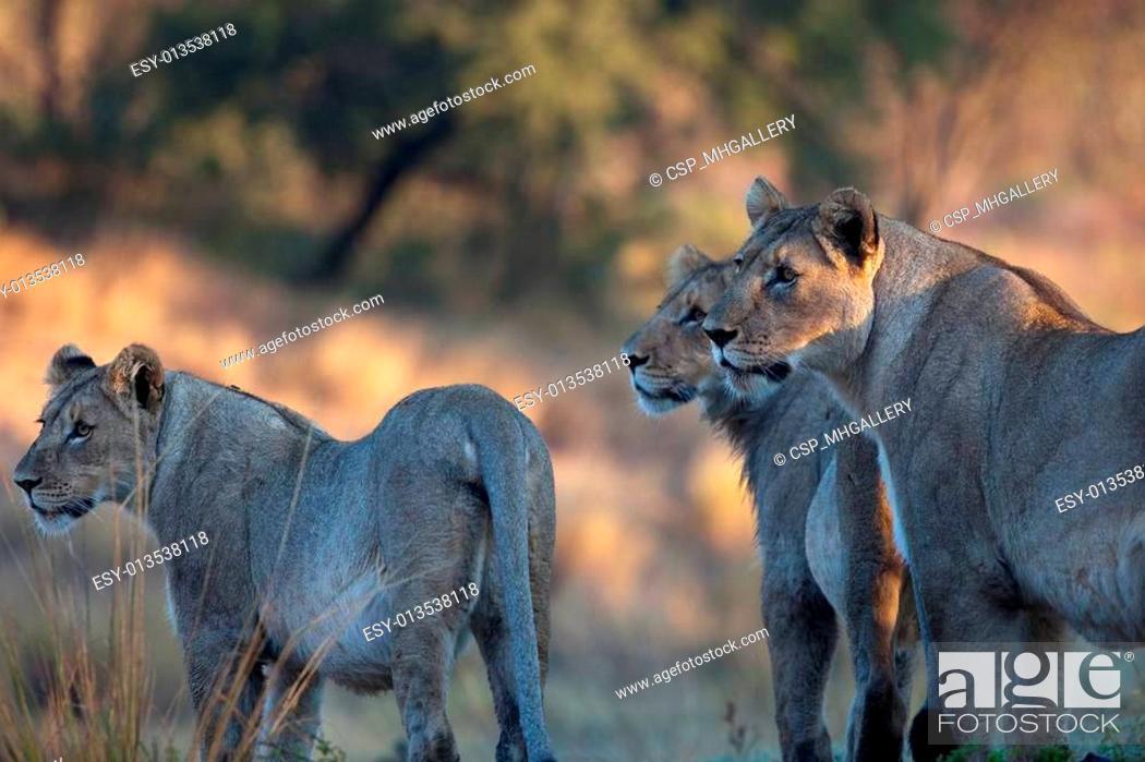 Stock Photo: lions of Tanzania National park.
