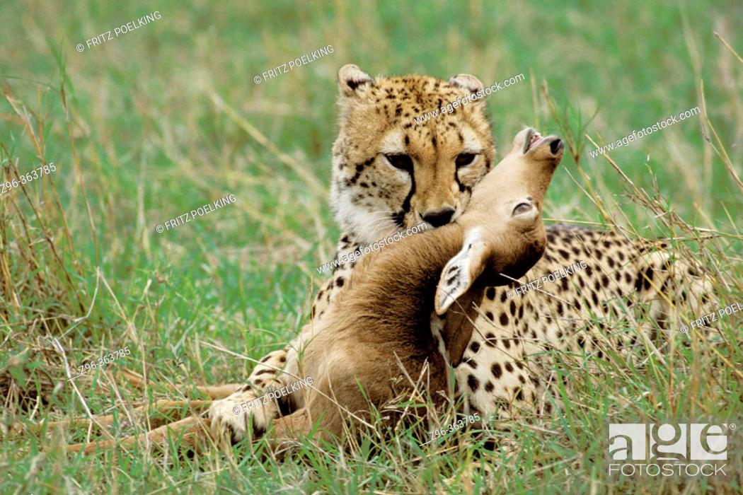 Imagen: Cheetah (Acinonix jubatus) with Impala (Aepyceros melampus). Masai Mara. Kenya.