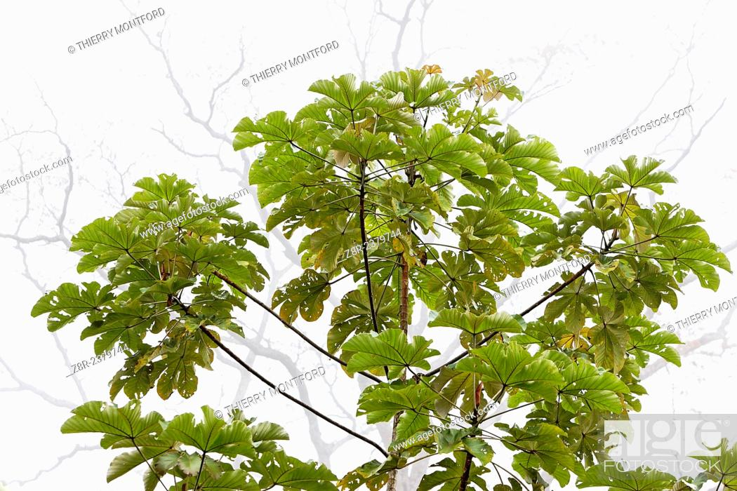 Stock Photo: Fast growing cecropia tree in the mist. French Guiana.