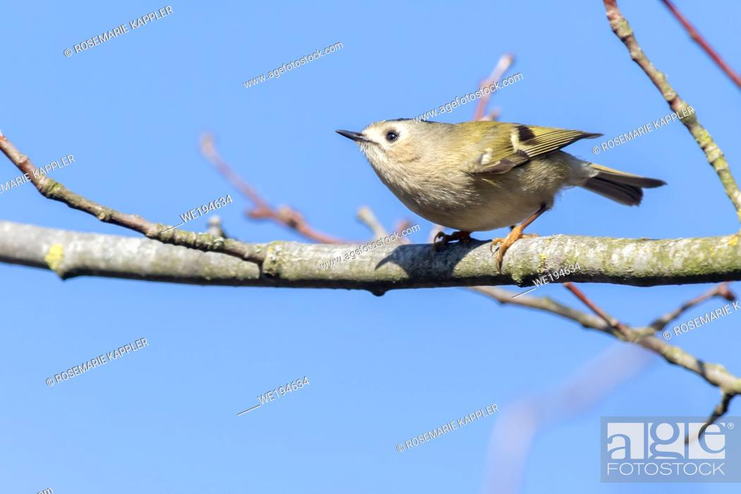 Stock Photo: A Goldcrest is sitting on a branch.