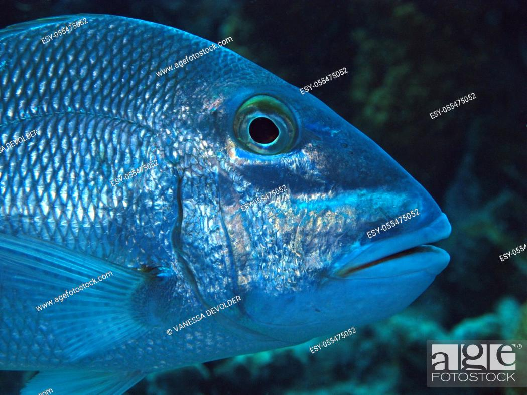 Imagen: Tropical fish (Jolthead porgy) in the Caribbean sea around Bonaire.