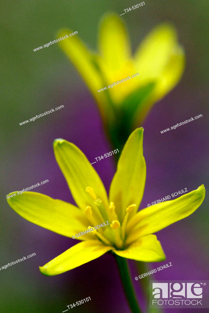 Stock Photo: Welsh Star Of Bethlehem. Gagea bohemica. Schleswig-Holstein, Germany.