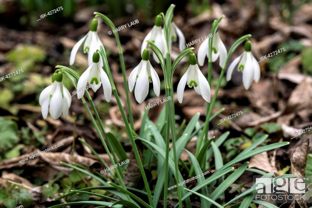 Stock Photo: Snowdrops (Galanthus) amongst leaves, Baden-Württemberg, Germany.