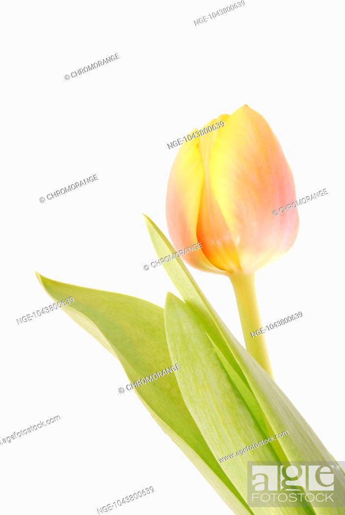 Imagen: Tulip.