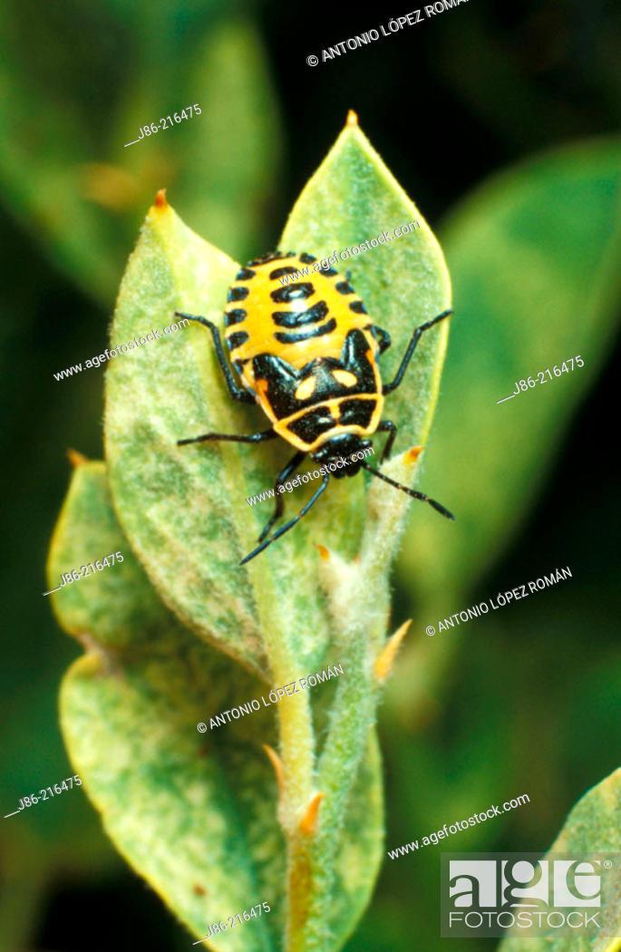 Stock Photo: Shield Bug (Eurydema dominulus).