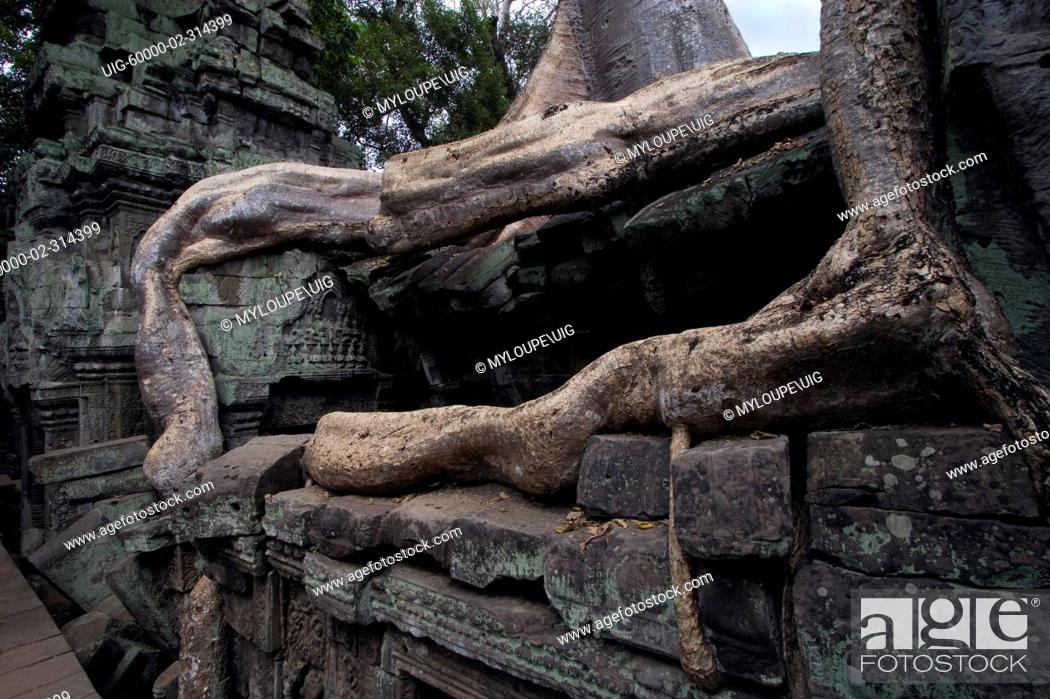 Wat Is Kapok.Silk Cotton Or Kapok Tree Roots Ceiba Pentandra Invade The