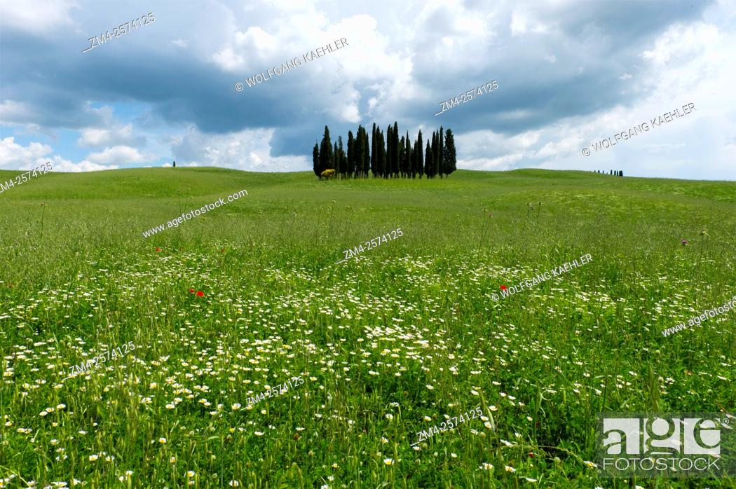 Stock Photo: Cumulus clouds building up over a group of Italian cypress trees (Cupressus sempervirens) near San Quirico in the Val d'Orcia near Pienza in Tuscany, Italy.