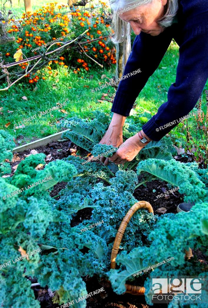 Stock Photo: Picking of Kale's cabbage in autumn in vegetable garden.